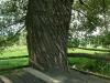 Дърво край чешмата